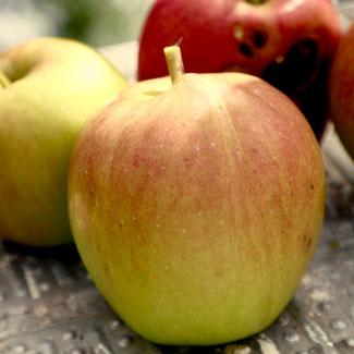 malus domestica, appelboom, appel bewaren, appelrassen