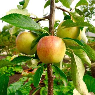 appels oogsten, bewaarappels oogsten, appels opslaan, malus domestica, appelboom