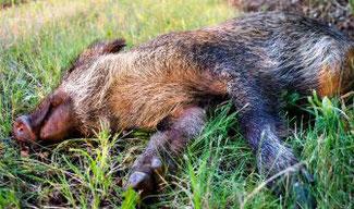 Wildschweine in Belgien haben sich erstmals mit ASP infiziert  Bild: DJV