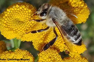 Honigbiene an Rainfarn, 2016