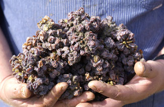 Botrytis affected grapes
