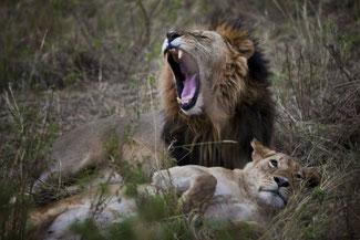 leone Masai Mara lions in2kenya safari watamu kenya great migrations