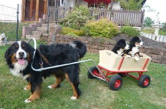 Ein Bernersennenhund zieht einen Bollerwagen.