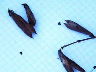 Рис. 10. Боби і насінини калофаки волзької (урочище Пристіни, жовтень 2015 року)