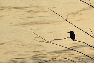 Ein Eisvogel im Sonnenaufgang