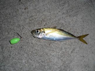 泳がせ釣りでは、「小アジ」を餌にすることが多い