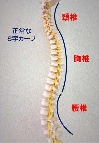 京都市中京区にある烏丸三条畠鍼灸院整骨院、子供の姿勢矯正、正常な姿勢はこれです。