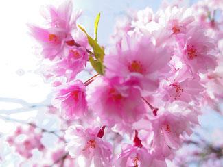 桜の美しさって日本独特