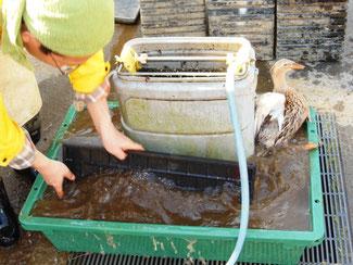 育苗箱の洗浄 有機栽培の米作り