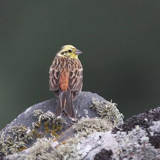 Bruant jaune mâle © Yann Février