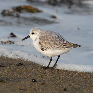 Bécasseau sanderling © Marc Rapilliard