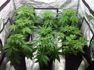 Growbox / Homebox für die Cannabis Zucht / Hanfanbau zu Hause