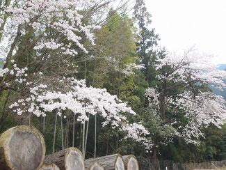 場内には桜も咲いてるよ!(春期 3~4月頃)