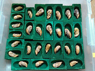 人工蛹室(園芸用オアシス)内のオオクワガタの蛹。