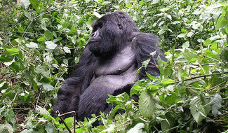 Un ejemplar adulto de gorila de montaña. / Foto: Hendrik Dacquin de Gent, Belgium - Flickr