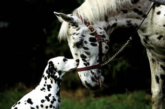 Dalmation dog and Appaloosa horse ready for integrative therapies and physical medicine