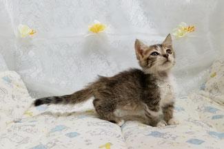 子猫の格安販売!猫の部屋セイワ。可愛い短足マンチカンの子猫です。