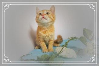 子猫の格安販売!猫の部屋セイワ。可愛いMIX子猫です。