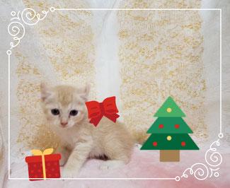 子猫の格安販売! 猫の部屋セイワ。可愛いアメリカンカールの子猫です。