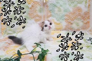 子猫の格安販売!猫の部屋セイワ。可愛いスコティッシュフォールドの子猫です。