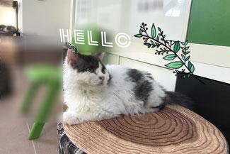 子猫の格安販売!猫の部屋セイワ。可愛いセルカークレックスの子猫です。