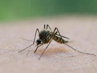Wen eine Mücke sticht, das wird vom Erbgut des Opfers mitbestimmt. Foto: Patrick Pleul/Archiv
