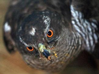 Der Habicht ist vom Naturschutzbund Deutschland (NABU) und dem Landesbund für Vogelschutz (LBV) zum «Vogel des Jahres 2015» gewählt worden. Foto: Jens Wolf