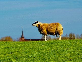 das stolze Deich-Schaf verleiht dem Deich etwas Heroisches