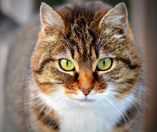 Pixabay-Tierernährungsberatung-Katze