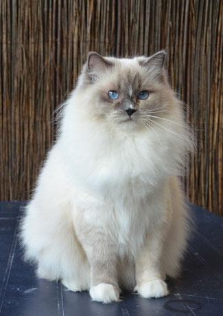 Blue tortie point mitted Ragdoll Katze