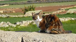 Bild: Katze auf der Mauer auf dem Weg von La Valetta nach Marsalokk