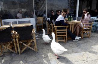 Bild: 2 Schwäne gehen ins Restaurant zum Abendbrot