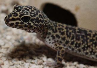 Leopardgecko  Afghanistan