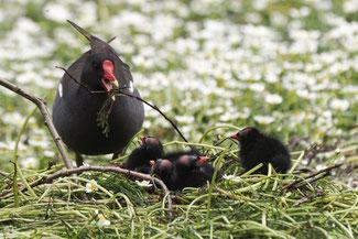 Foto: Teichhuhn mit Kücken (c) Antje Geigenberger