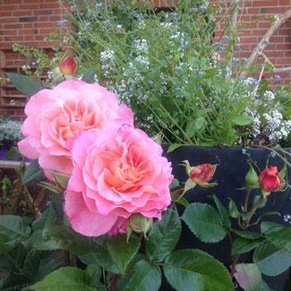 Rose Augusta Luise ® Gartenbotschafter John Langley®