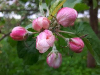 Foto: Petra Schweim - Ein zu starker Schnitt kann zu einer Blütenlosigkeit kommen.