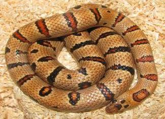 Foto: mh-reptiles
