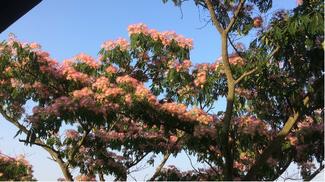 Pianta di Acacia di Costantinopoli detto anche l'albero della seta