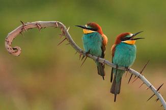 Zwei bunte Vögel auf einem Ast