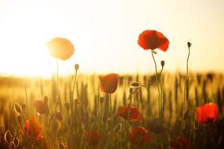 Rote Mohnblumen durch die die Sonne scheint