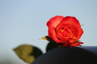 rot-gelbe Rose