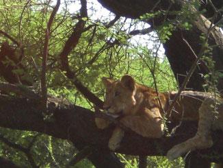 Lion on the tree, Lake Manyara Nationalpark