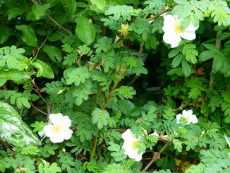 Blüte Stacheldrahtrose