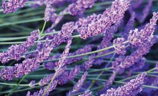 Lavendel ist eines von vielen ätherischen Ölen mit therapeutischer Zertifizierung