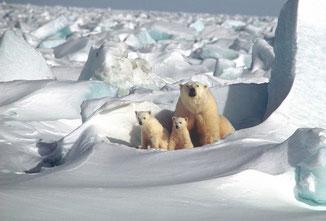 Das Ende der Eisbären - fair4world