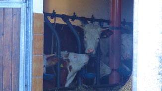 Kühe lebenslang an Ketten - lebenslang eingesperrt