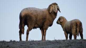 Tierische Mode - Blutige Mode - Schafsmutter mit Lamm auf der Weide - fairani