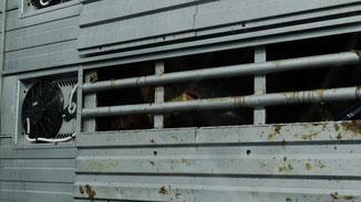 Tiertransport - tierische Hölle