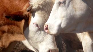 Tierische Mode - Blutige Mode - Liebevolle Kühe - fairani