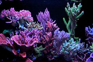 Riffaquarium mit Steinkorallen